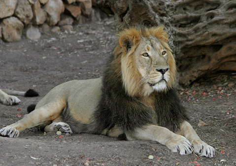 Five rare critically endangered species of asiatic lions found dead in