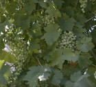 Grapes in Ein Karem