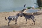 Zebra in love